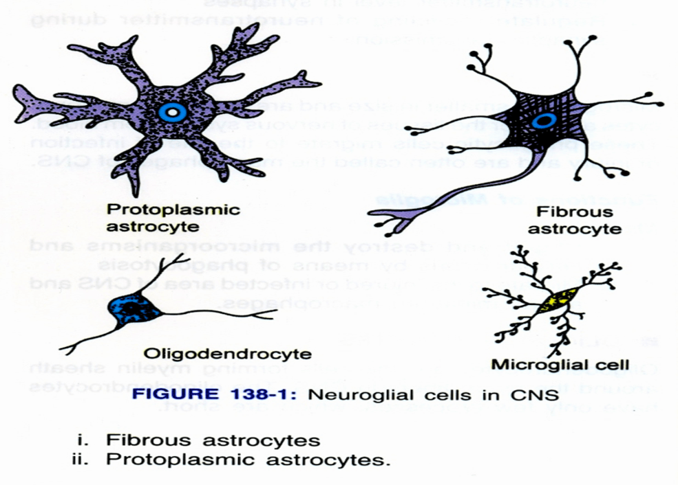 Image of Neuroglial Cells In CNS