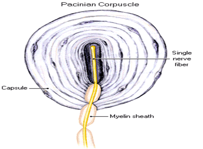 Image of Pacinian Corpuscle