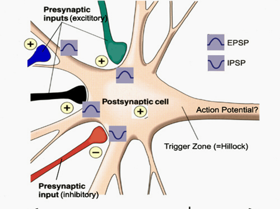 Image of Postsynaptic Cell