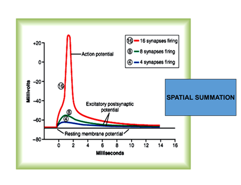 Image of Spatial Summation