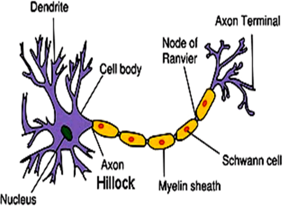 Image of Structure of Neuron