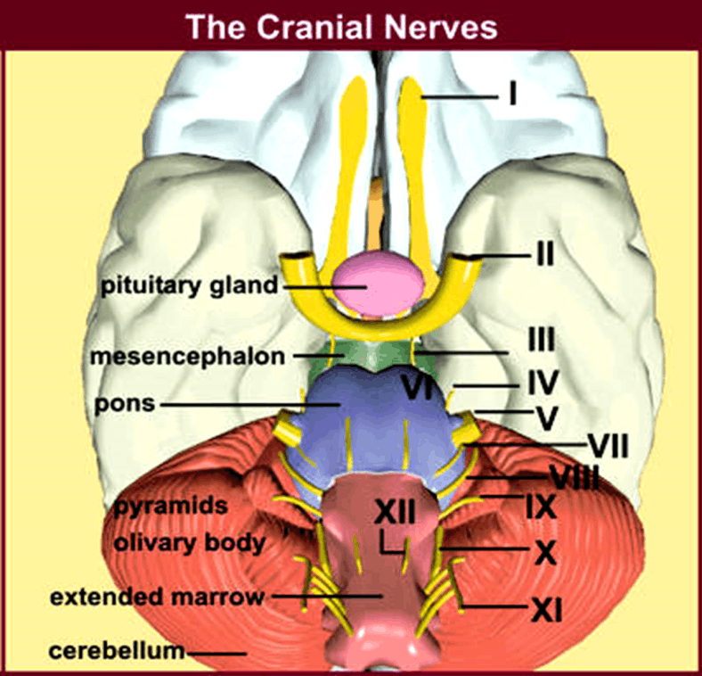 Image of The Cranial Nerves