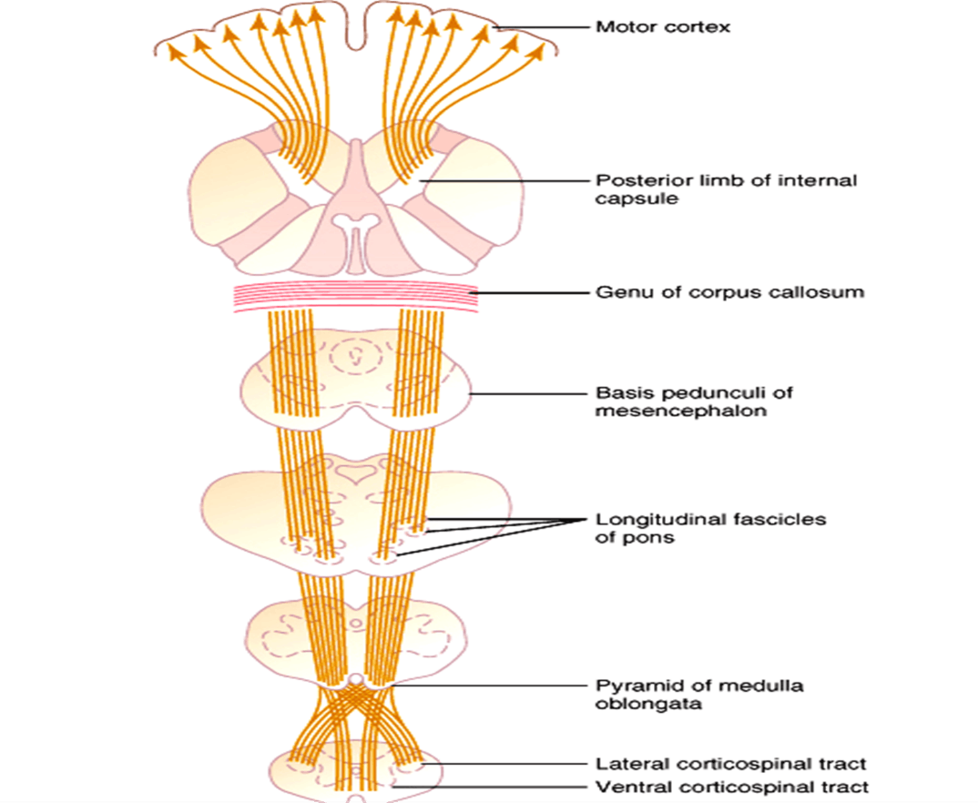 Image of Motor Cortex