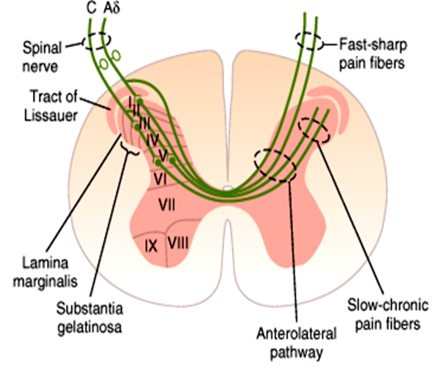 Image of Fast Sharp Pain Fibers And Slow-Chronic Pain Fibers