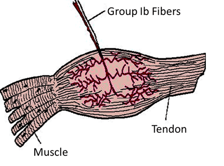 Image of Group Ib Fibers, Tendon And Muscle