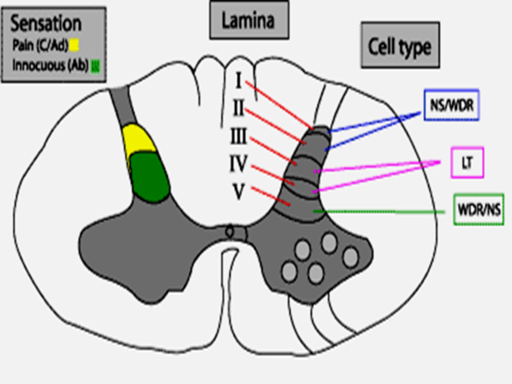Image of Lateral Spin Thalamic Tract