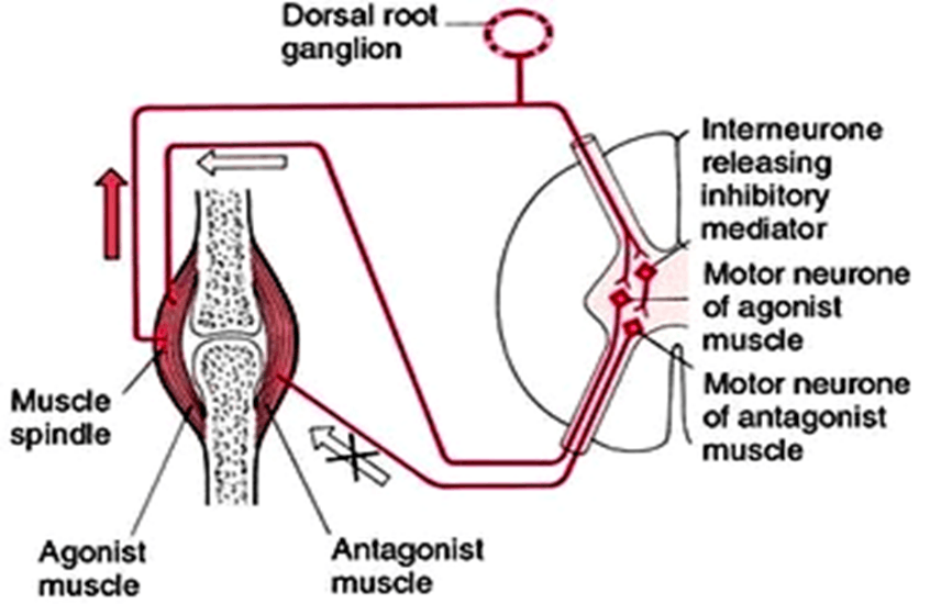 Image of Reciprocal Innervation