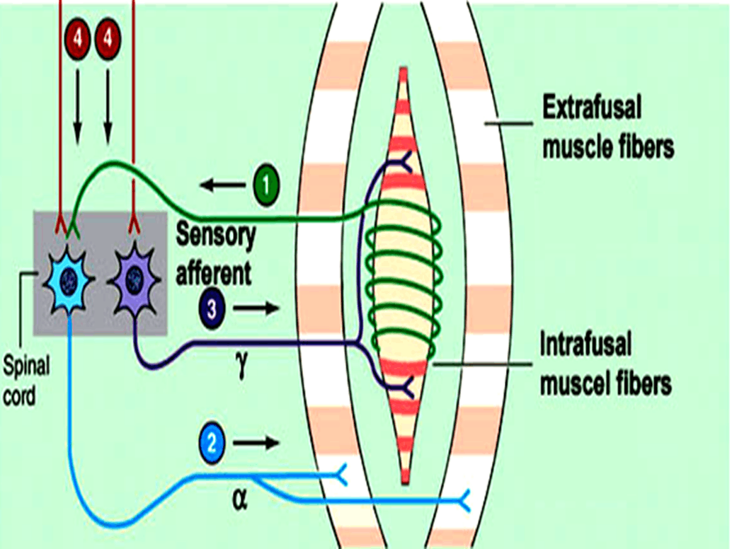Image of Structure of Receptor
