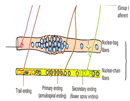 Image of Types of Fibers And Types of Ending