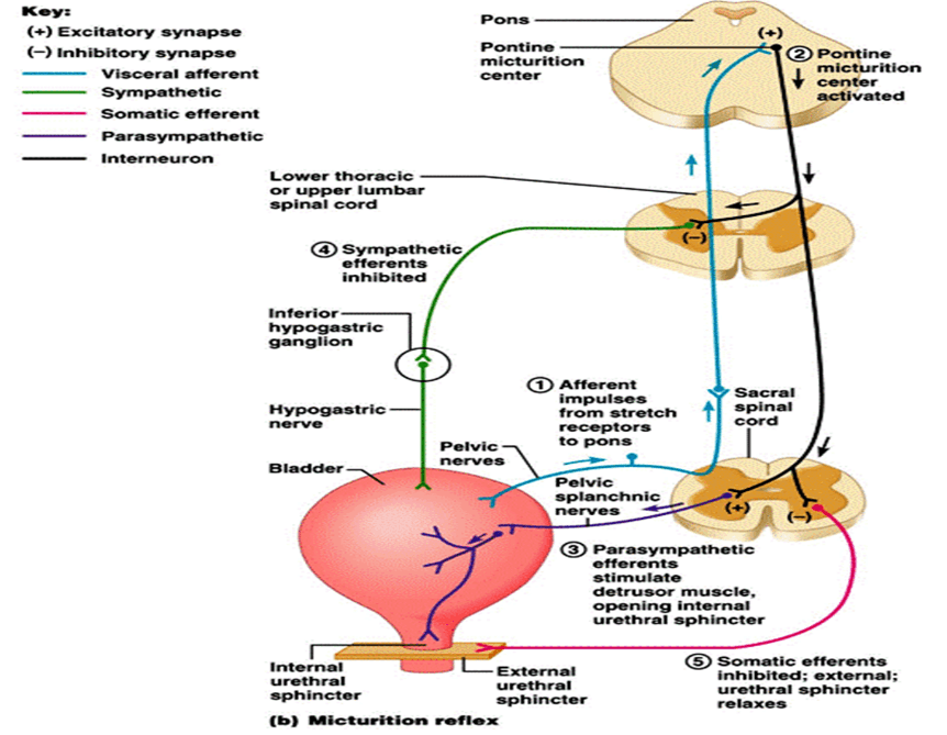 Mechanism of exitatory and inhibitory synapses