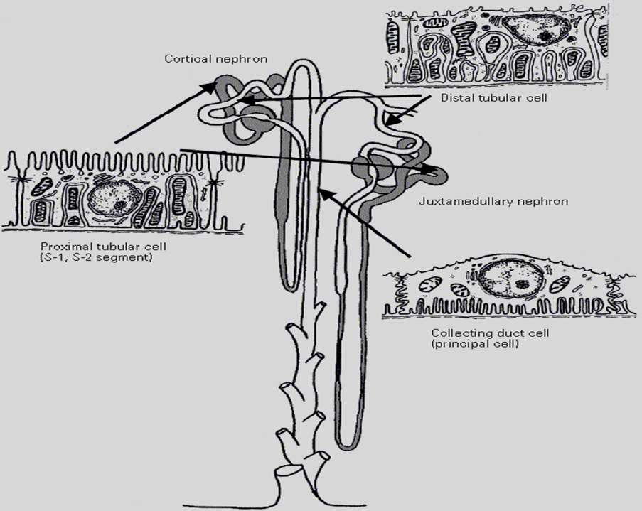 Image of Cortical Nephron