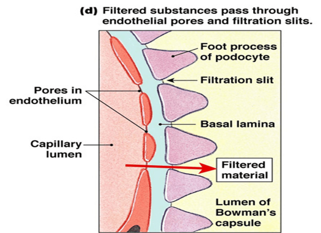 Image of Filtration Membrane