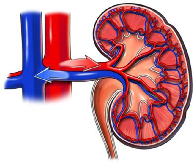 Image of RS-Renal Blood Flow - 1