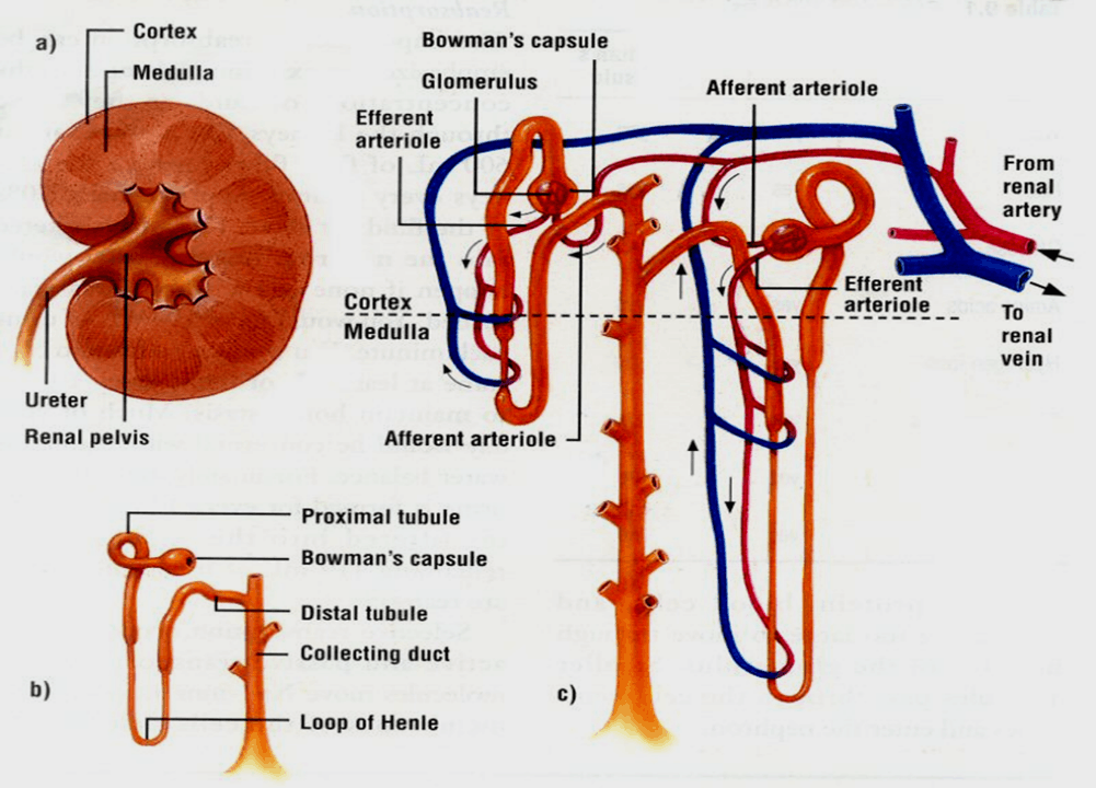 Image of Renal System - 3