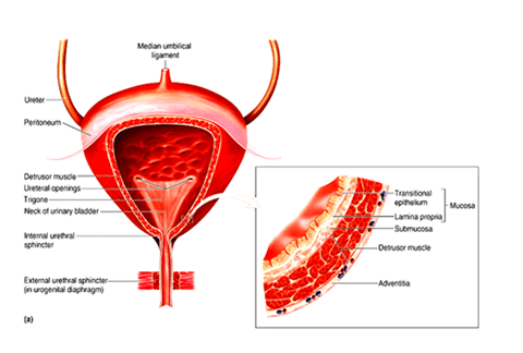 Image of Structure of Urinary Bladder