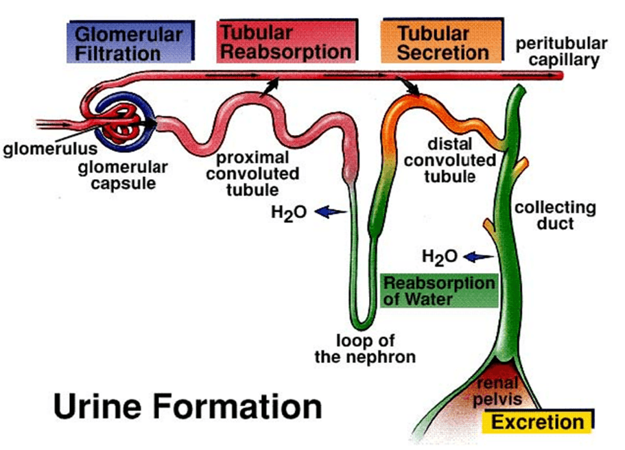 Image of Urine Formation