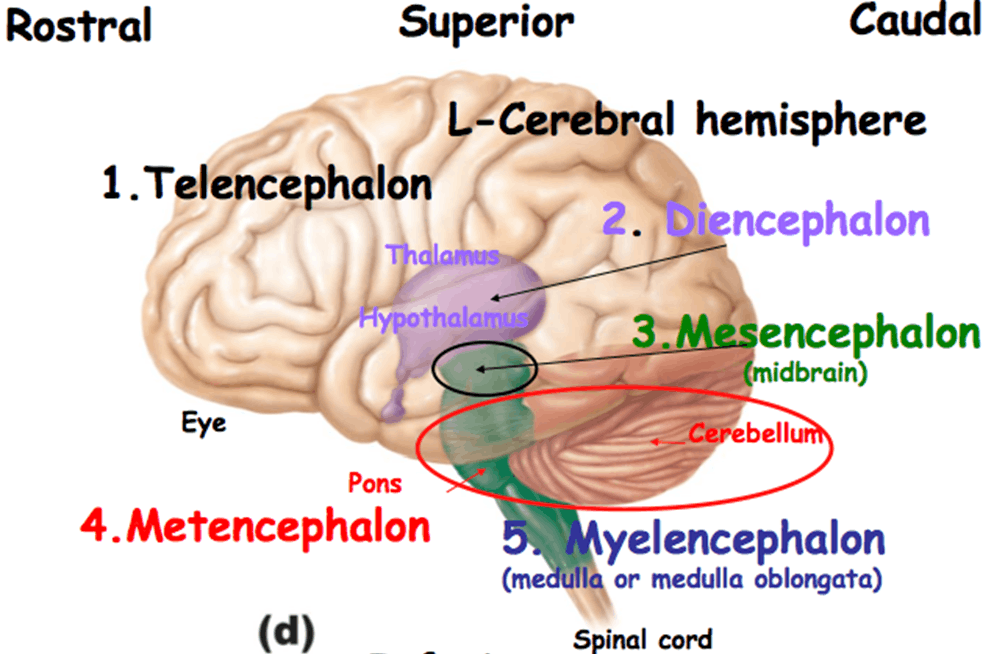 Embroyonic Brain Image-3