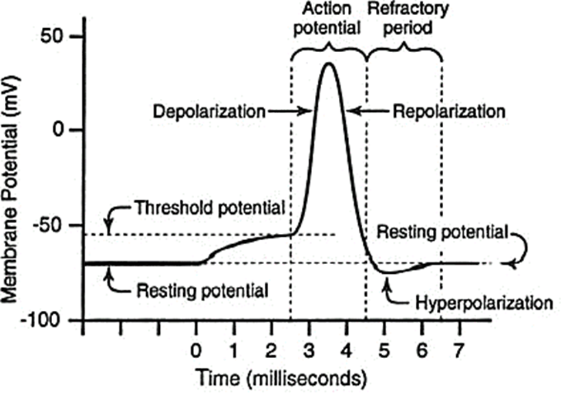 Myelin Sheath: Action Potential