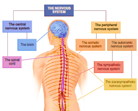 Image of Components of Nervous System