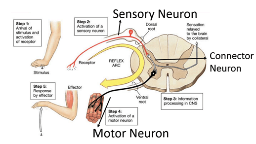 Image of Sensory Neuron, Connector Neuron And Motor Neuron