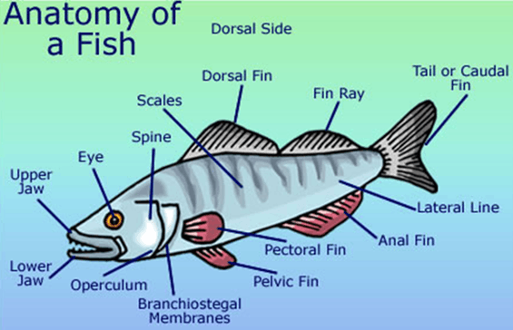 Image of Anatomy of a fish
