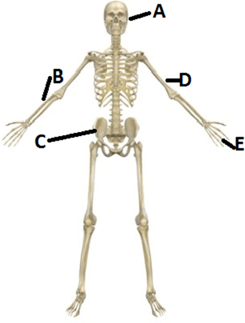 Diagram of the human skeleton – Find C and E