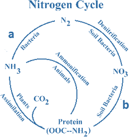 Diagram of Nitrogen cycle – Find a and b