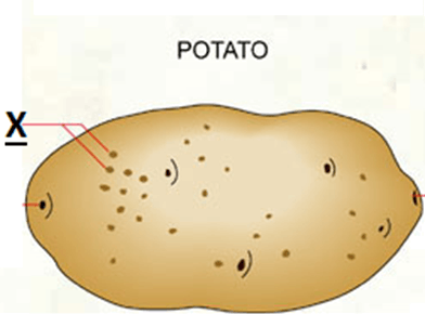 figure shows a potato