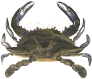 show a Diagram of crab
