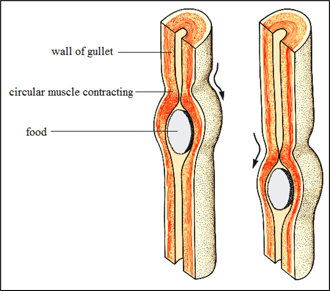 Wall of Gullet