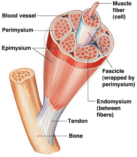 Muscle fibers are Cylinder-shaped