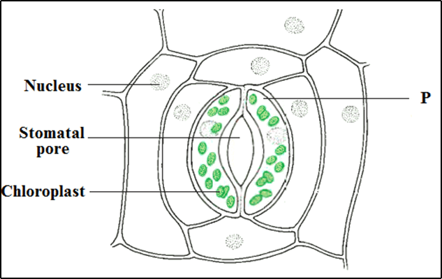 The diagram shown here is a stomata in its open form