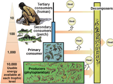 In image indicate an energy pyramid of terrestrial ecosystem