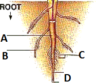 Figure shows structure of root