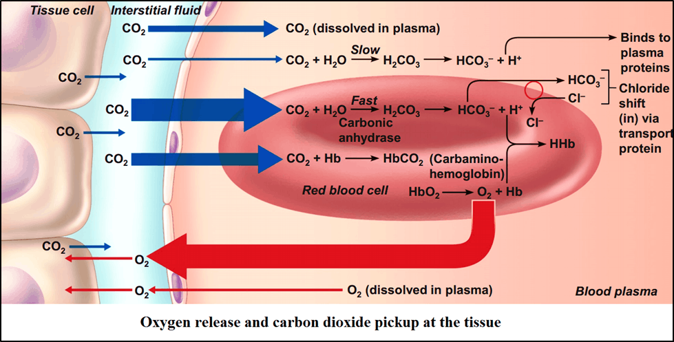 Oxygen release and caebon dioxide