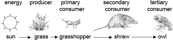 The figure shows example of food chain