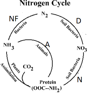 shows Image of Nitrogen Cycle.