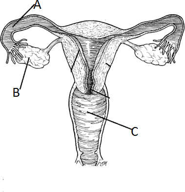 Female reproductive system Inner structure with all its parts