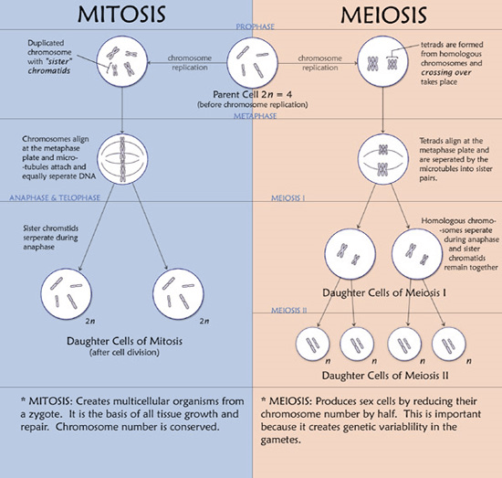 How To Write An Essay High School Meiosis Vs Mitosis Whats The Difference Examples Of A Thesis Statement For An Essay also Thesis In An Essay Differences Between Mitosis And Meiosis Essay High School Years Essay