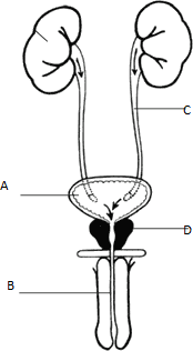 The figure shows male reproductive system