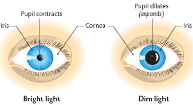 shows changes in shape of pupil in different level of light