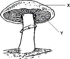 Figure shows a structure of mushroom – Label X and Y