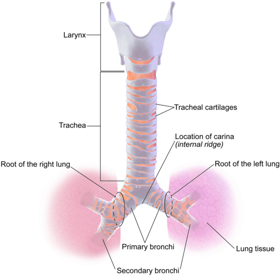 Figure shows anatomy of trachea