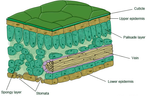 Image of cellular structure of leaf