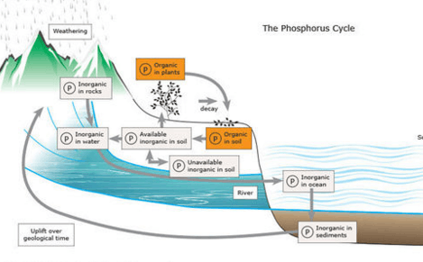 Image shows phosphorous cycle