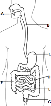 Figure shows human digestive system