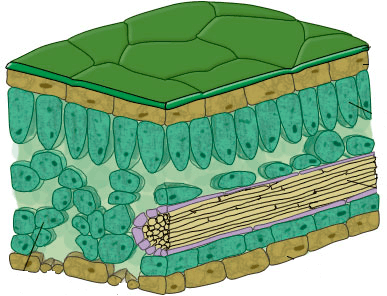 Image shows cellular structure of leaf