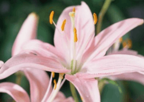 Figure shows lily flower