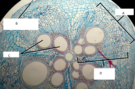 Figure shows a cross section of a squash stem