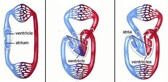 shows different heart structures present in differentorganisms